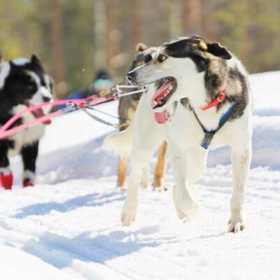Enjoy the husky sledding in Parpalandia-min